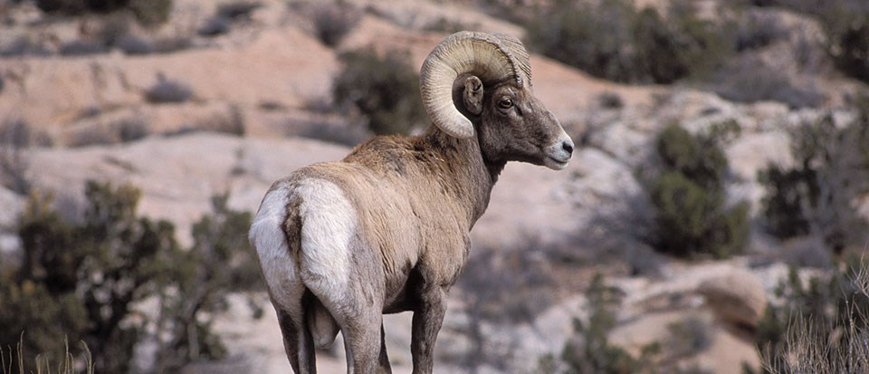 a male bighorn sheep with large, curled horns