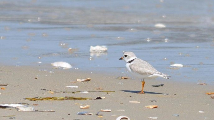 Piping plover standing on the shore