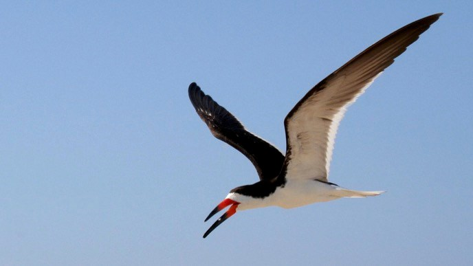 Black skimmer flying in the air