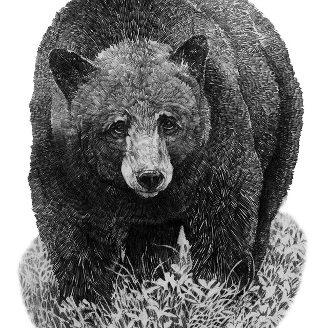Drawing of a black bear
