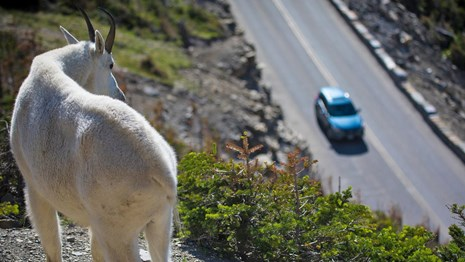 A goat looks down from a cliff at a blue car below.