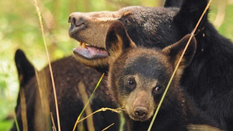 Two black bear cubs nestle with their mother