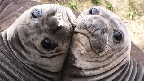 Two weaned elephant seal pups playing