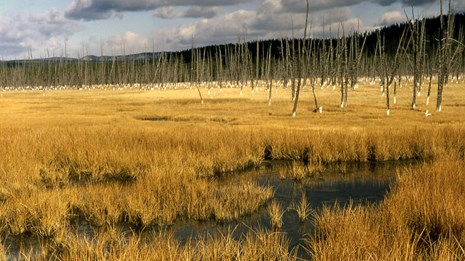 Grasses growing and dead trees standing in a watery meadow.
