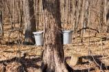 Collection buckets are hung from spiles drilled into maple trees for sap