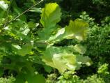 Close up of a group of four lobed swamp white oak leaves with the forest floor in the background