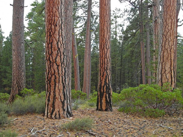 Ponderosa Pines near the South Entrance