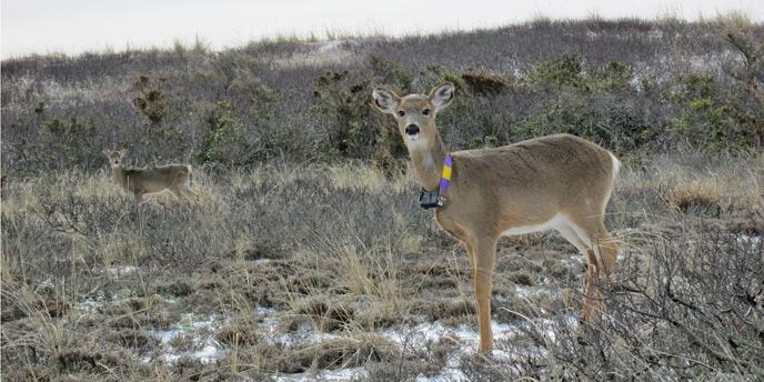 Mature Buck Movement Study | Missouri Whitetails - Your ...