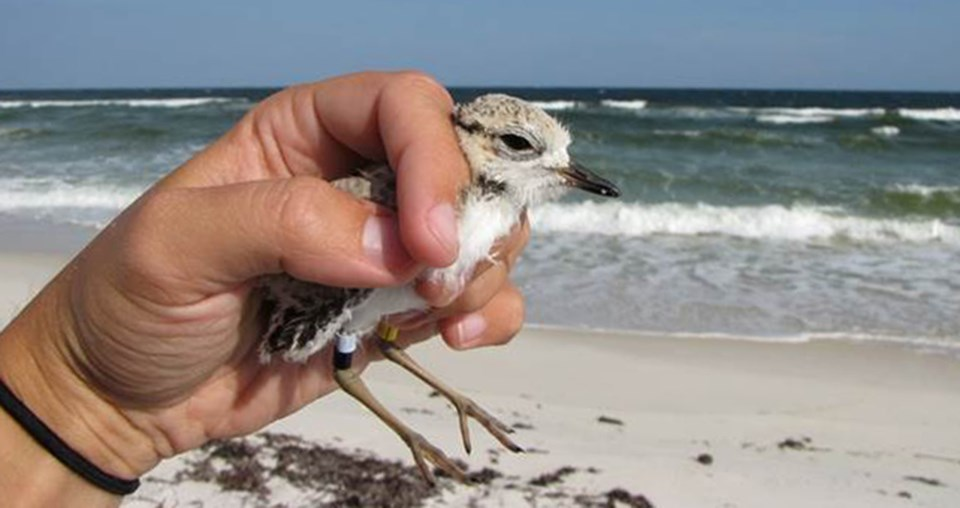 A person holds a banded shorebird.