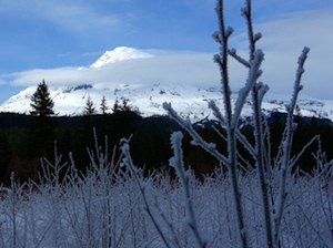Frosted alder saplings frame a snowy Mount Rainier ringed with clouds.