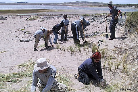 Seven volunteers with shovels remove European beach grass from sand dunes.