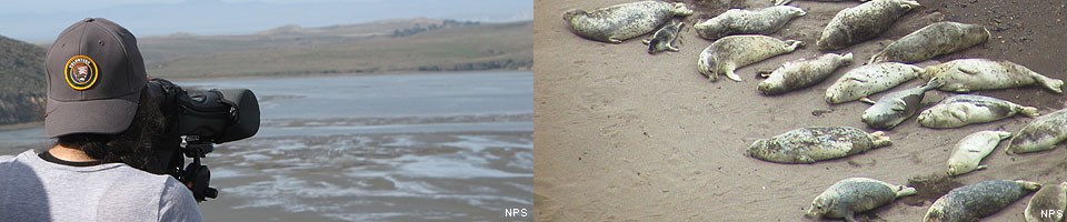 Two images: (left) A Harbor Seal Monitoring Docent looking through a spotting scope. (right) Harbor seals.