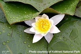 White water lily (Nymphaca alba) at Kolkheti National Park