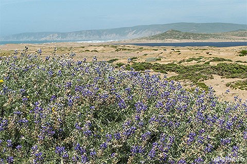 Purple bush lupine in the foreground with restored sand dunes in the distance.