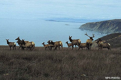 Fourteen tule elk on Tomales Point. The Pacific Ocean is in the background.