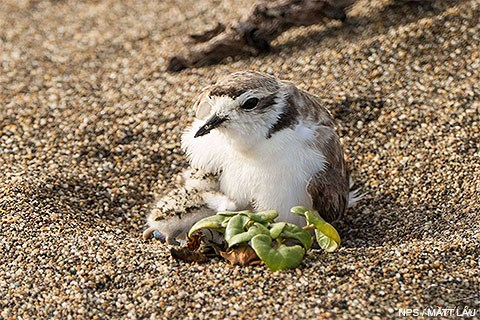 A female snowy plover brooding a newly-hatched chick.