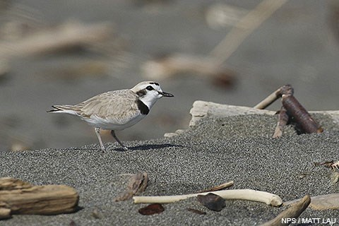 A male western snowy plover amongst driftwood and kelp on a sandy beach.