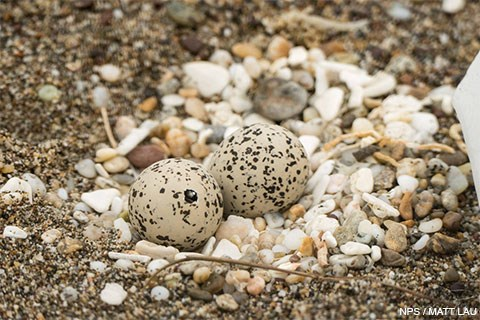 Two dappled sand-colored eggs with a tiny beak poking through a small hole in one of the eggs.