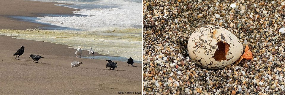 Left: Ravens and gulls on a beach near the surf line. Right: A depredated snowy plover egg with a hole in the shell.