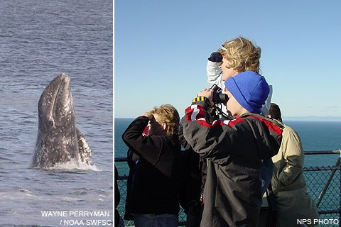 (Left) A gray whale starting a breach and (Right) whale watchers at the Lighthouse Observation Deck.
