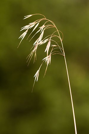 The flowering stalk of cheatgrass