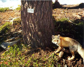 Red fox at base of tree
