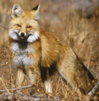 Red fox stands in field