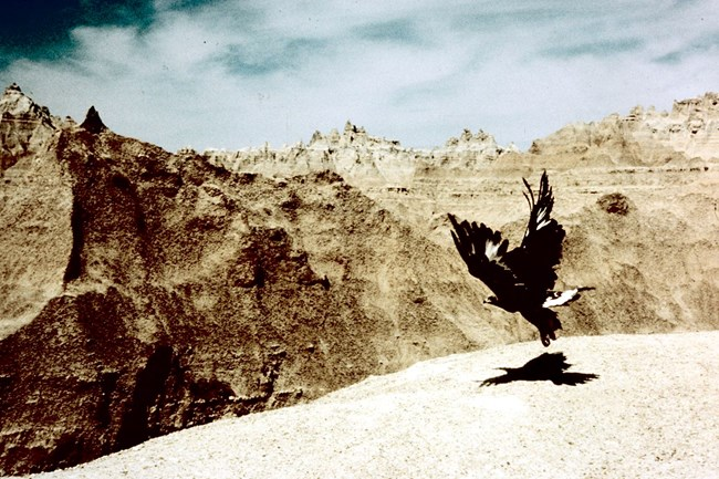 a golden eagle spreads its wings, taking off in badlands buttes