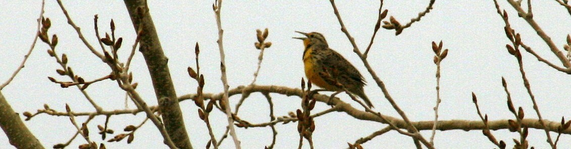 a meadowlark sits on a branch in the midst of many twigs