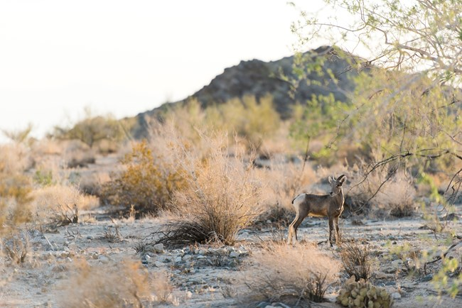 A close up of a bighorn sheep standing among the shrubs in a desert landscape.