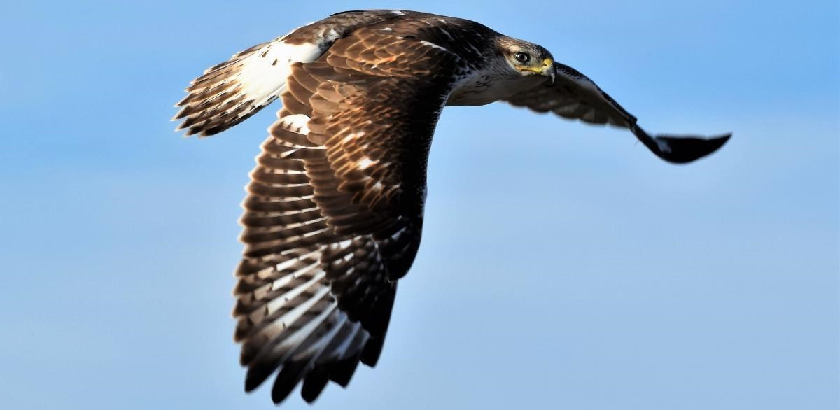 a hawk flying with its wings spread and shoulders hunched