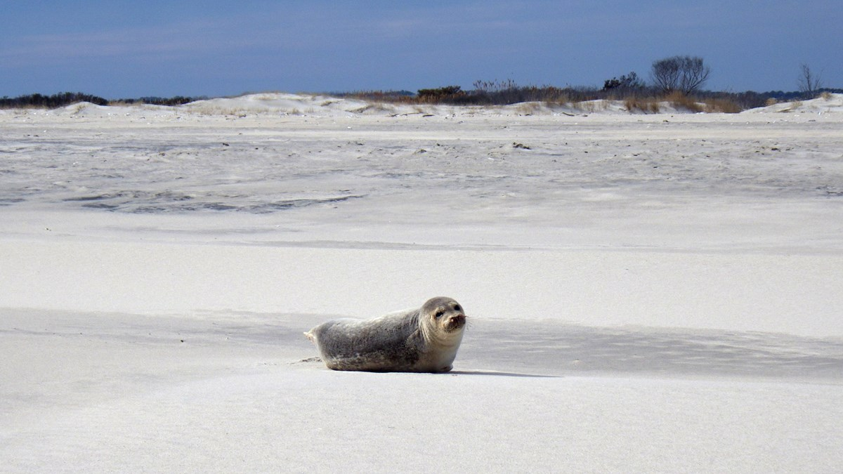 Seal sitting on a white sand beach