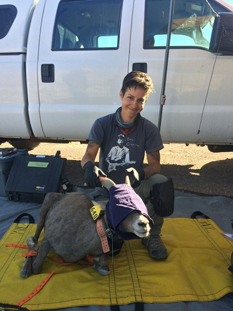 A researcher kneeling in front of a white truck on a tarp with a bighorn sheep. The sheep is asleep with eyes covered and has a GPS radio collar around its neck.