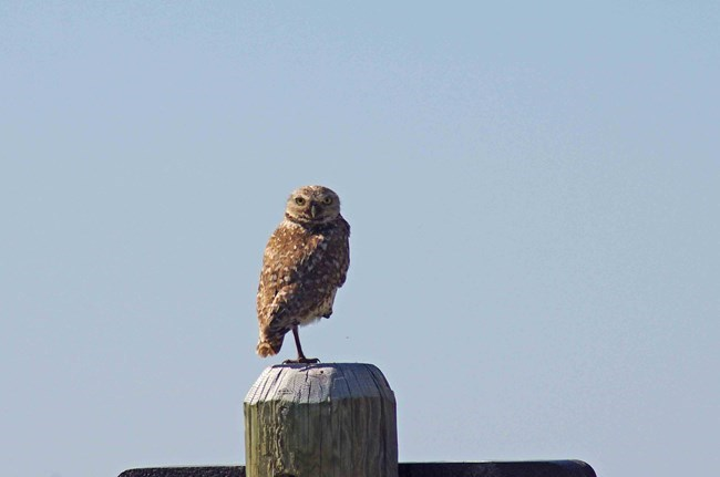 a burrowing owl stands on top of a wooden post