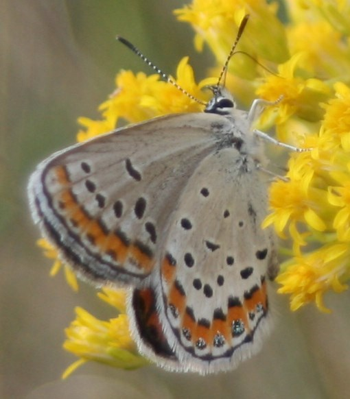 a light brown butterfly perches on a stalk of grass with small yellow flowers.
