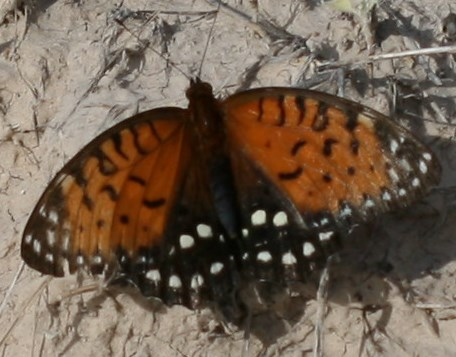 an orange and black butterfly with white spots spreads both of its wings while resting on the ground