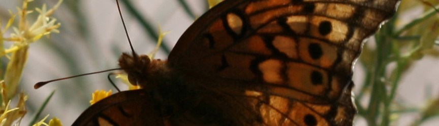 a brown butterfly with long antennae spreads its brown spotted wings.