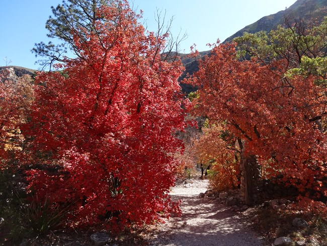 A Fall Colors Update of McKittrick Canyon November 7, 2020. Moderate color change pops throughout the canyon.
