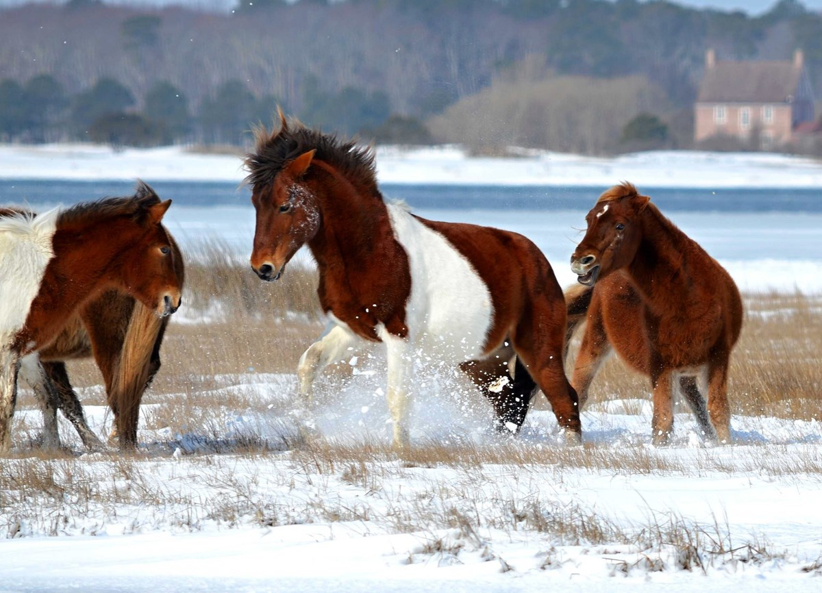 Several ponies play in the snow on a beach