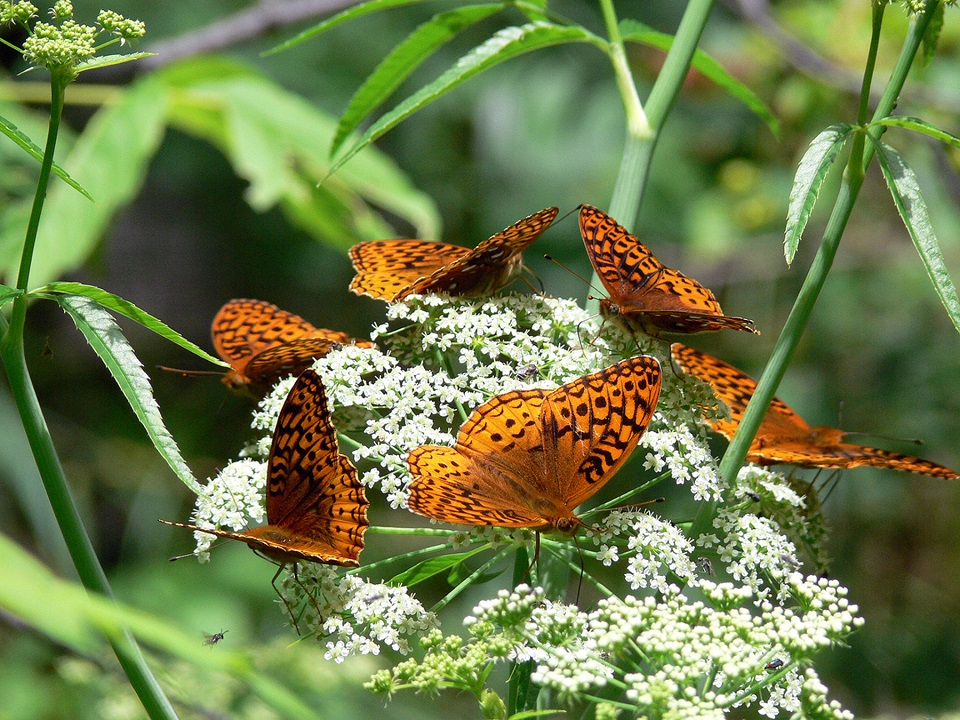 Six orange and black butterflies standing on tiny white flowers