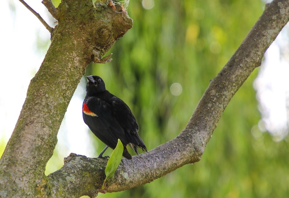 Black bird with yellow and red wings standing on a branch