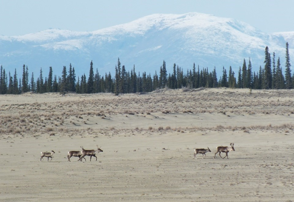 Group of caribou crossing sand dunes