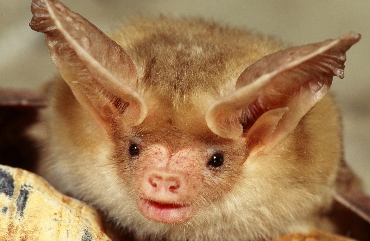 close up of pallid bat's face