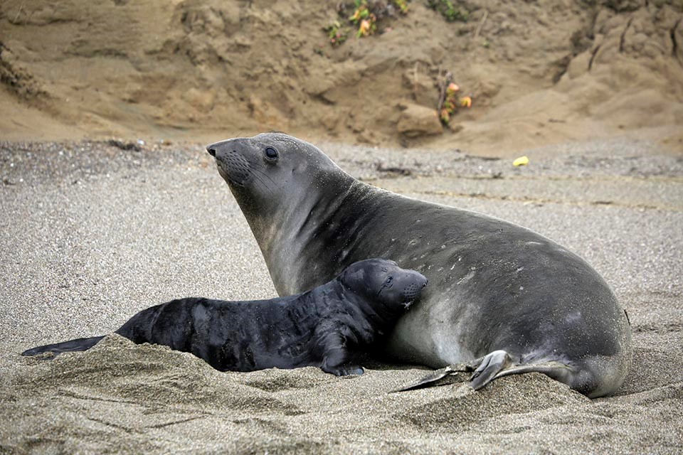An elephant seal pup pauses while nursing from its mother