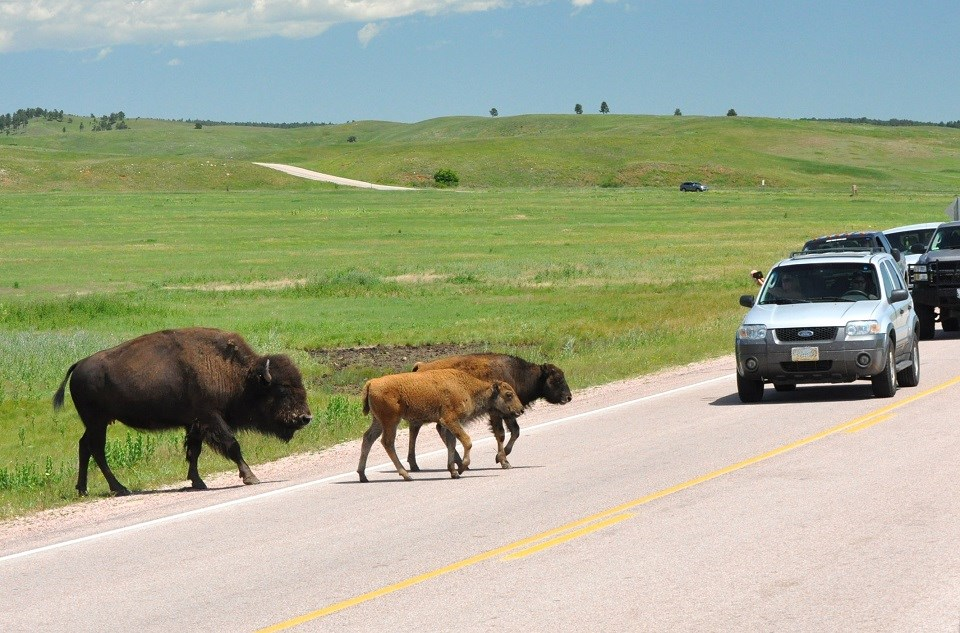 Adult bison and calf crossing road in front of vehicles