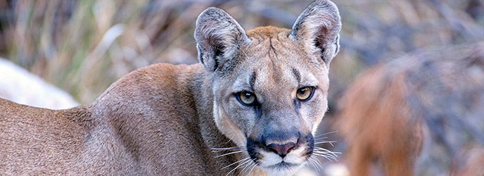 Mountain Lions - Big Bend National Park (U.S. National ...