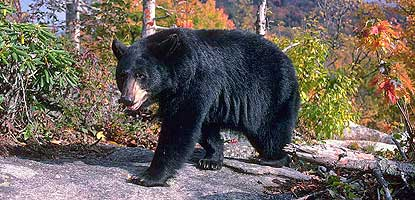 Black bear is one of the many species of wildlife found in Big South Fork.