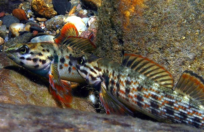 Two fish with colorful fins and spots on their bodies shelter among rocks in a stream