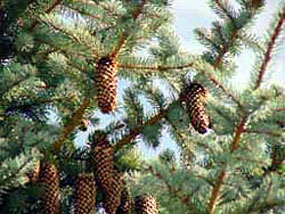 Cones on a Blue Spruce Tree