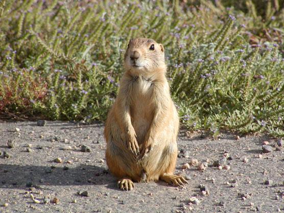 Utah Prairie Dog in natural habitat of high desert dirt and grass